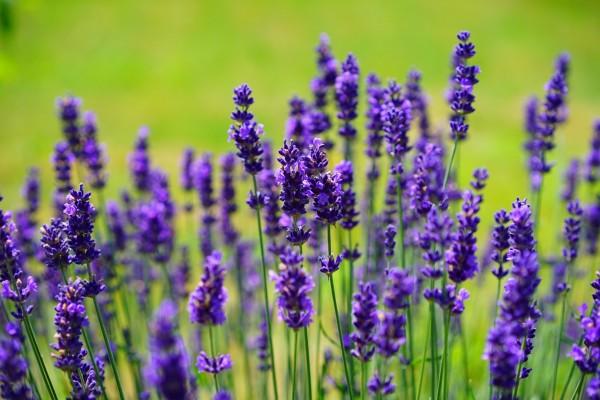 lavender-1117275_1280